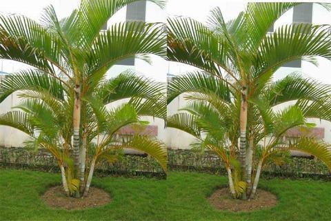 Cây Cau Vàng (Dừa cảnh)