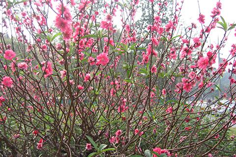 Hoa đào ngày Tết, tràn ngập hương vị ngày xuân
