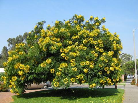 cây bò cạp vàng